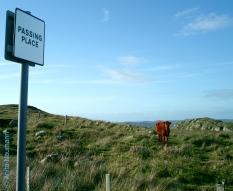 Passing Places und eine entspannte Kuh
